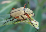 Macrodactylus uniformis; Western Rose Chafer pair