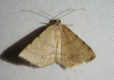 6423 - Taeniogramma octolineata; Geometrid Moth species