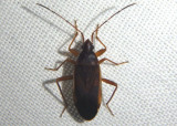 Balboa ampliata; Dirt-colored Seed Bug species