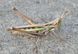 Syrbula montezuma; Montezuma's Grasshopper; female