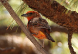Hepatic Tanager; male
