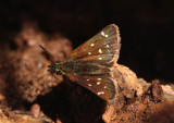 Piruna polingii; Four-spotted Skipperling