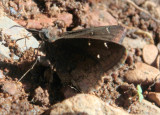 Thorybes pylades; Northern Cloudywing