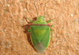 Thyanta custator; Red-shouldered Stink Bug