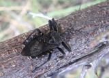 Apiomerus longispinis; Assassin Bug species