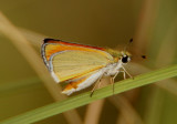 Oarisma edwardsii; Edward's Skipperling