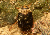 Rhantus gutticollis; Predaceous Diving Beetle species