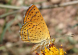 Calephelis arizonensis; Arizona Metalmark