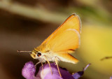 Copaeodes aurantiaca; Orange Skipperling