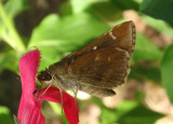 Lerema accius; Clouded Skipper