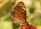 Microtia dymas; Tiny Checkerspot
