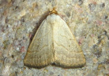 8405 - Oxycilla tripla; Owlet Moth species