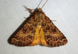 11134.3 - Schinia mexicana; Flower Moth species