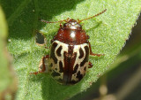 Calligrapha Leaf Beetle species