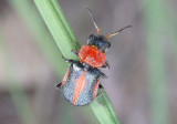 Collops vittatus; Soft-winged Flower Beetle species; female