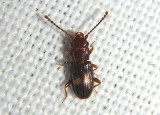 Deinophloeus impressifrons; Lined Flat Bark Beetle species