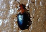 Lebia tricolor complex; Colorful Foliage Ground Beetle species
