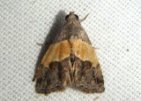 9005 - Tripudia balteata; Owlet Moth species