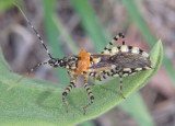 Pselliopus zebra; Assassin Bug species