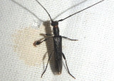 Styloxus bicolor; Long-horned Beetle species