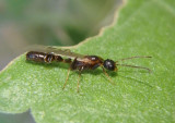 Pseudomyrmex apache; Ant species; male