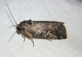 9074 - Metaponpneumata rogenhoferi; Owlet Moth species