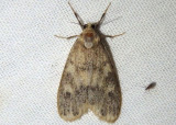 8094-8095; Bruceia Lichen Moth species