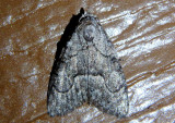 8984 - Meganola minor; Nolid Moth species