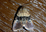 9590 - Properigea continens; Cutworm Moth species