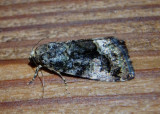 9051 - Lithacodia musta; Small Mossy Lithacodia