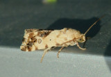9097 - Ponometia nannodes; Bird Dropping Moth species
