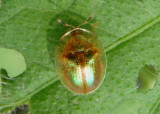 Charidotella succinea; Tortoise Beetle species