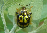 Deloyala lecontii; Tortoise Beetle species