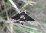 Hemipenthes celeris; Bee Fly species