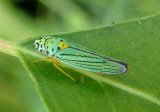 Hordnia atropunctata; Bluegreen Sharpshooter