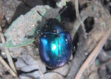 Leptinotarsa haldemani; Leaf Beetle species