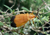 Lycus arizonensis; Net-winged Beetle species
