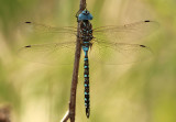 Rhionaeschna multicolor; Blue-eyed Darner; male