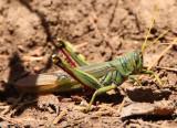 Schistocerca shoshone; Green Bird Grasshopper