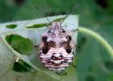 Thyanta Stink Bug species nymph