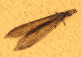 Vella fallax; Antlion species