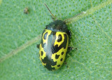 Zygogramma signatipennis; Leaf Beetle species