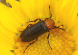 Nemognatha sparsa; Blister Beetle species