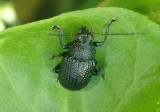 Colaspis nigrocyanea; Leaf Beetle species