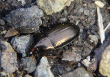 Amara Seed-eating Ground Beetle species