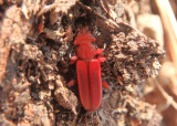 Cucujus clavipes; Red Flat Bark Beetle