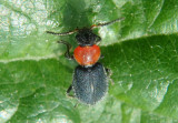 Collops tricolor; Soft-winged Flower Beetle species; female