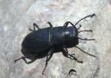 Xylopinus saperdioides; Darkling Beetle species