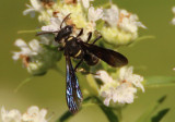 Cerceris fumipennis; Apoid Wasp species
