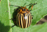 Leptinotarsa decemlineata; Colorado Potato Beetle